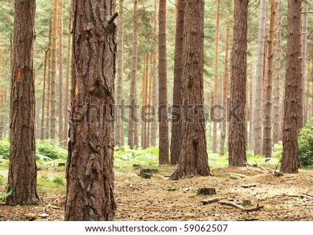 Scot's Pine forest in early morning sunlight - stock photo