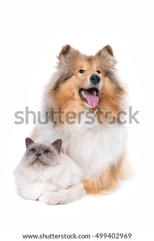 Scotch Collie and a Cat in front of a white background