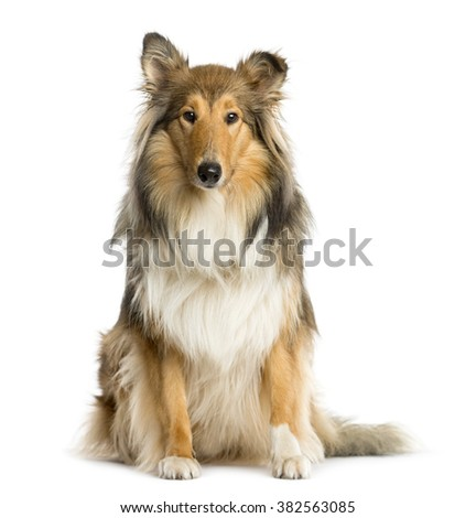 Scotch Collie sitting in front of a white background - stock photo
