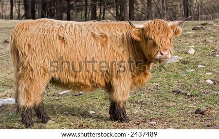 Scotch Highland Steer - stock photo