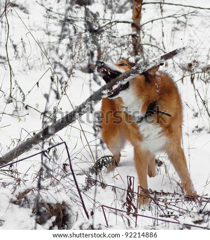 Scotch shepherd dog in the snow chewing a stick- Russia - stock photo