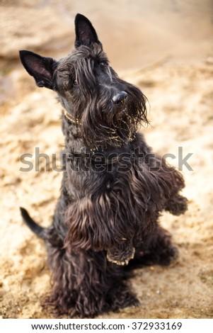 scotch terrier - stock photo
