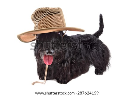 Scotch terrier in cowboy hat standing on a white background - stock photo
