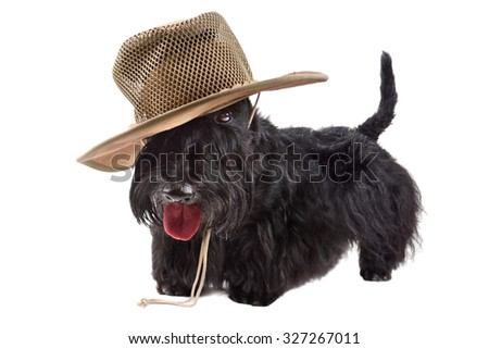 Scotch terrier in leather cowboy hat on a white background - stock photo