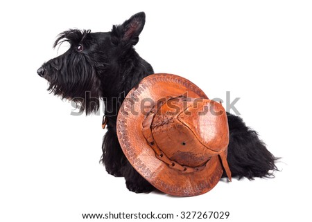 Scotch terrier in leather cowboy hat sitting on a white background - stock photo