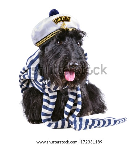Scotch terrier in stripped vest and sailor hat sitting on a white background - stock photo