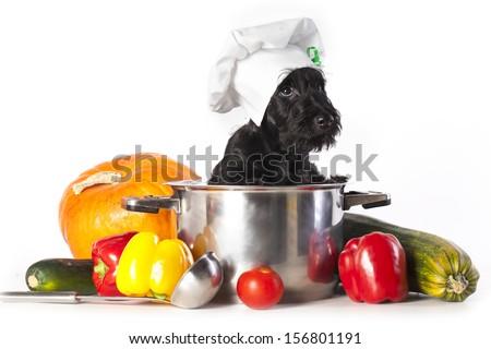 Scotch terrier kitchen boy in a saucepan - stock photo