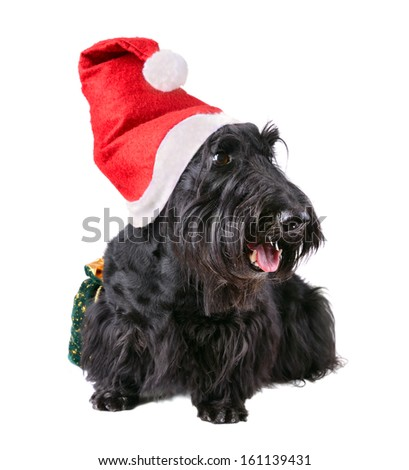 Scotch terrier with red Santa Claus hat sitting on a white background