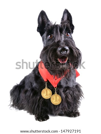 Scotch terrier with two gold medals on a white background - stock photo