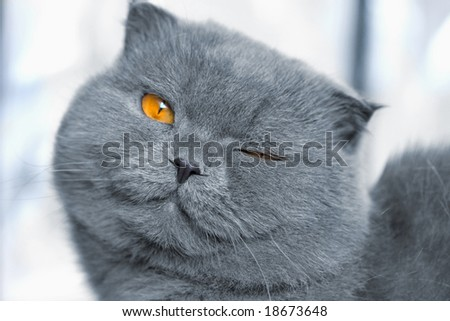 scotitish fold grey cat