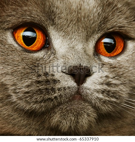 scotitish fold grey cat.studio shot. - stock photo