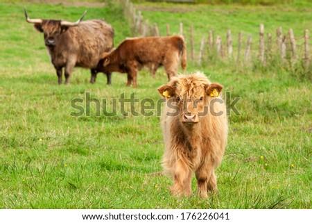 Scotland Angus Bulls and Cows - stock photo