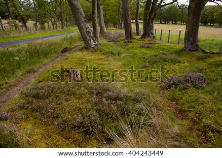 Scotland -  heather in beech woodland, forest in pentland Hills. - stock photo