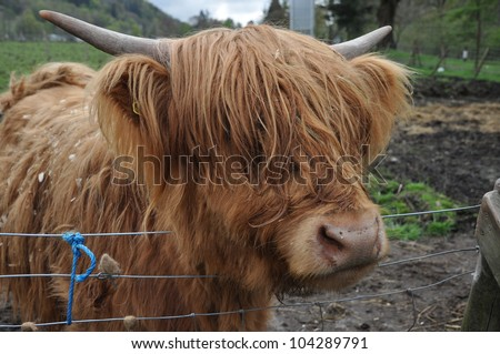 Scotland. Highland red Bull - Hamish - stock photo