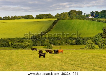 Scotland Livingstone, Livingstone, grazing cattle, Black and Brown Cows - stock photo