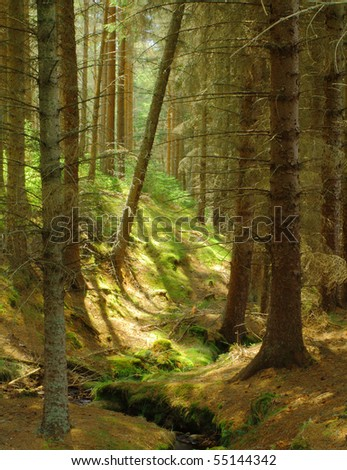 Scots Pine forest, Glenmore Forest Scotland. (Part of the Cairngorm National Park.)
