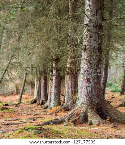 Scots Pine trees - stock photo