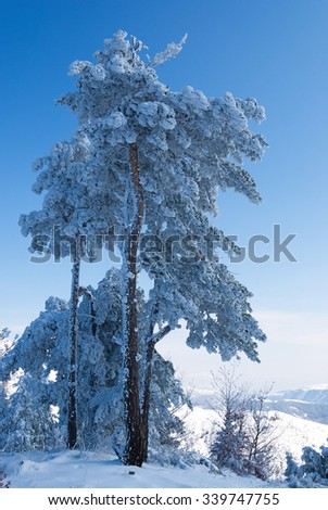 Scots pines loaded with snow on the mountains - stock photo
