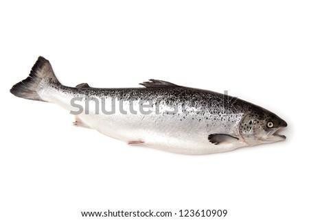 Scottish Atlantic Salmon (Salmo solar) whole, isolated on a white studio background. - stock photo