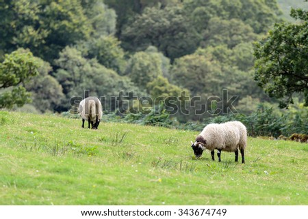Scottish Blackface Sheep grazing in a Scottish meadow