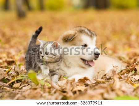 Scottish cat and alaskan malamute puppy dog together in autumn park - stock photo
