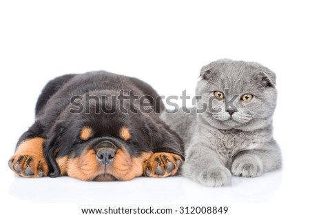 scottish cat and sleeping rottweiler puppy lying together. Isolated on white background - stock photo