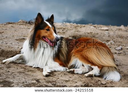scottish collie dog - stock photo