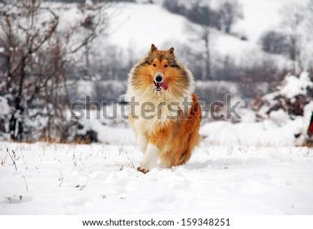 Scottish collie dog running on snow  - stock photo