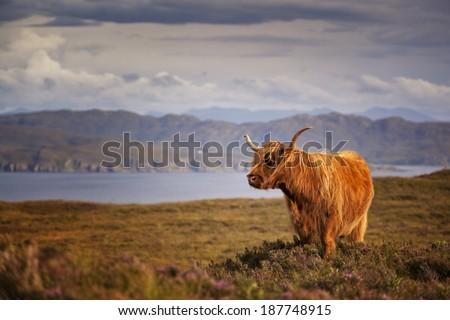 Scottish Cow IV - stock photo
