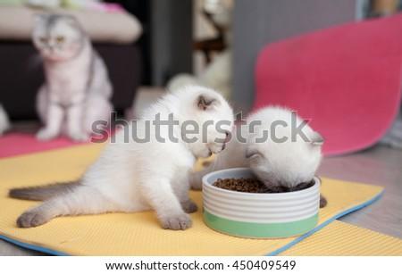 Scottish Fold beautiful kitten eats cat food  - stock photo
