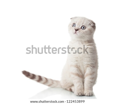 Scottish Fold breed of cat in full growth, isolated on a white background - stock photo