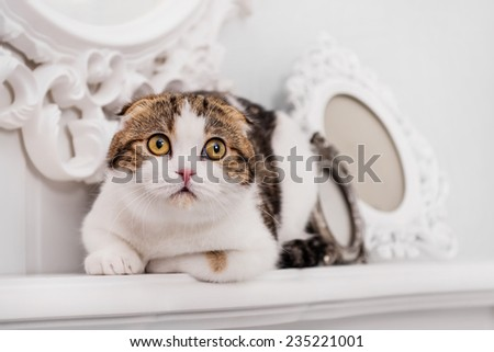Scottish-fold cat - stock photo