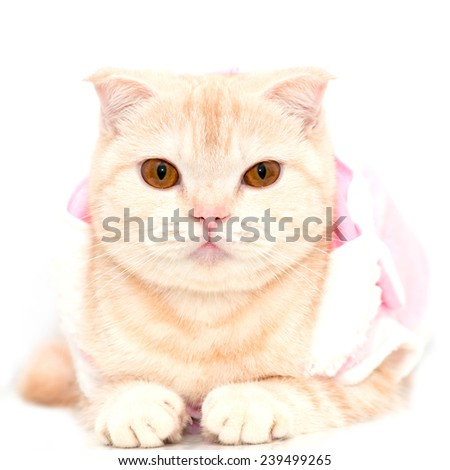Scottish Fold cat - stock photo