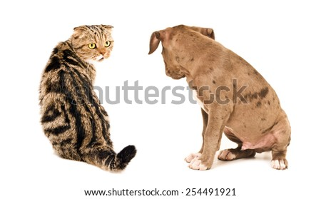 Scottish Fold cat and puppy pit bull sitting looking at each other isolated on white background - stock photo