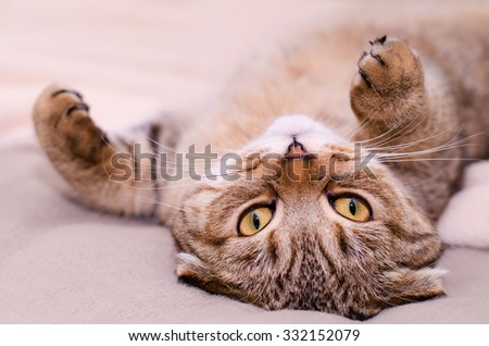 Scottish Fold cat, brown tabby lying belly up on its back. - stock photo