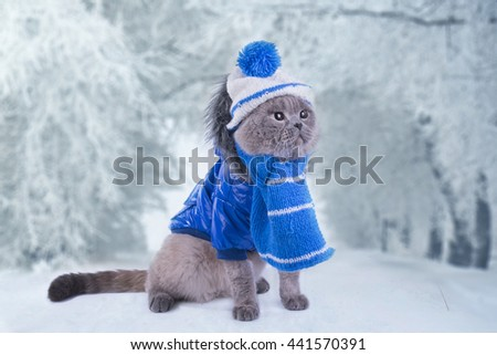 Scottish Fold cat in a coat walks on the street in winter