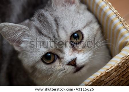 Scottish Fold cat looks at somewhere - stock photo