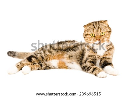 Scottish Fold cat lying isolated on white background - stock photo
