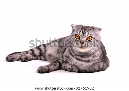 Scottish fold cat lying isolated on white background - stock photo