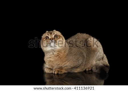 Scottish fold Cat Lying on Mirror and Curious Looking up Isolated on Black Background - stock photo