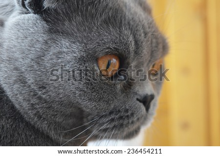 Scottish fold cat portrait