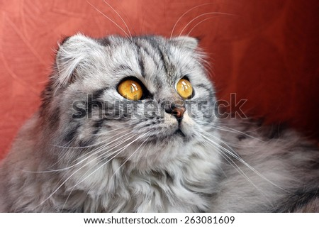 Scottish fold cat, shallow DOF - stock photo