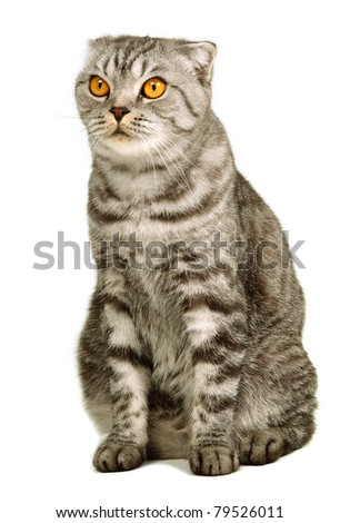 Scottish fold cat sitting isolated on white background - stock photo