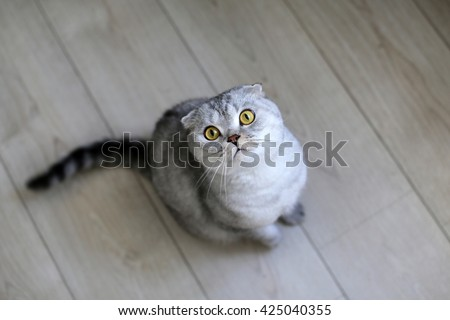 Scottish Fold cat with yellow eyes sitting on the floor. Top view. Selective focus - stock photo