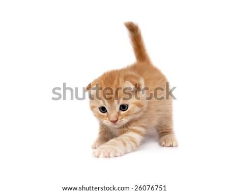 Scottish Fold Cats Plays on a white background - stock photo
