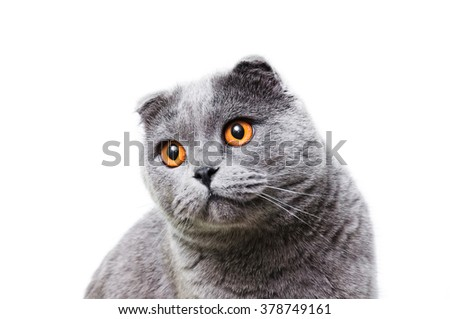Scottish Fold Gray lop-eared cat on a white background it is isolated. - stock photo