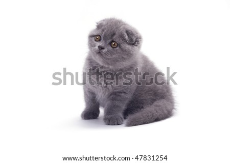 scottish fold isolated