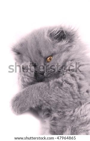 scottish fold isolated grey soft - stock photo
