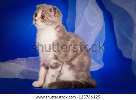 Scottish Fold Kitten - stock photo