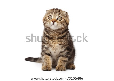 Scottish fold kitten - stock photo